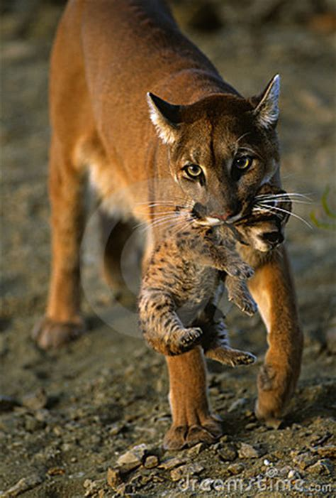 Mountain Lion Carrying Kitten Stock Photography - Image