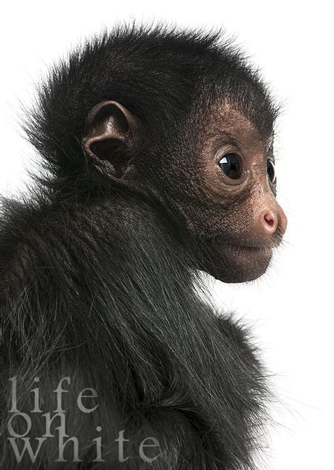 Marvin the Spider Monkey Meets Life on White - ZooBorns