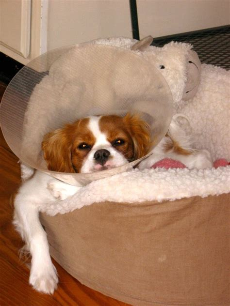 Puppy Pictures! 5 Month Old Cavalier King Charles Spaniel