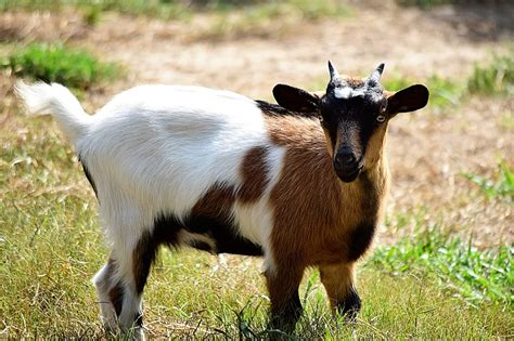 Fainting Goats for Sale Near Me: Directory of US Breeders