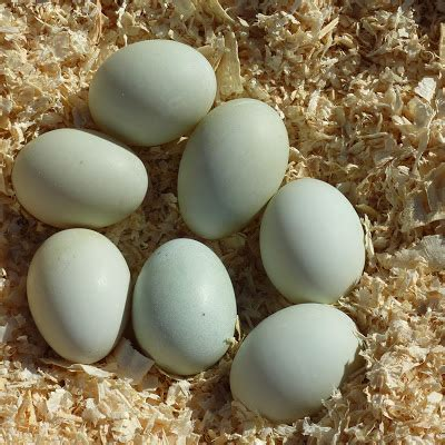 Southern Green Living: Duck vs Chicken for Egg Laying