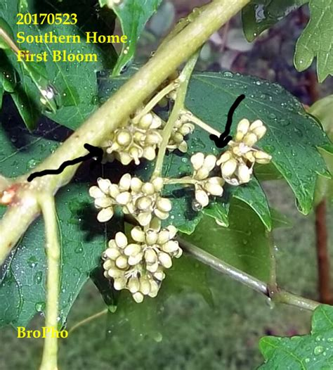 Muscadines know how to bloom - General Fruit Growing
