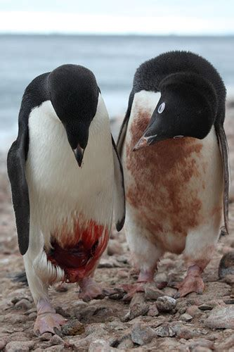 Injured Adelie Penguin being inspected by conspecific