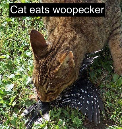 If only feral cats would eat starlings – PoC