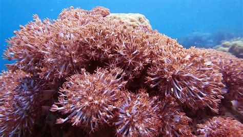 Pulse Soft Coral (pulsing Xenia, Stock Footage Video (100%